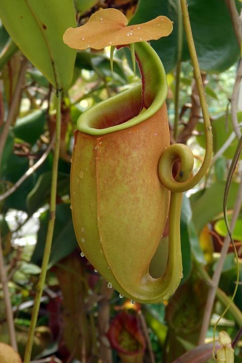 pitcher-plant-3362417_960_720